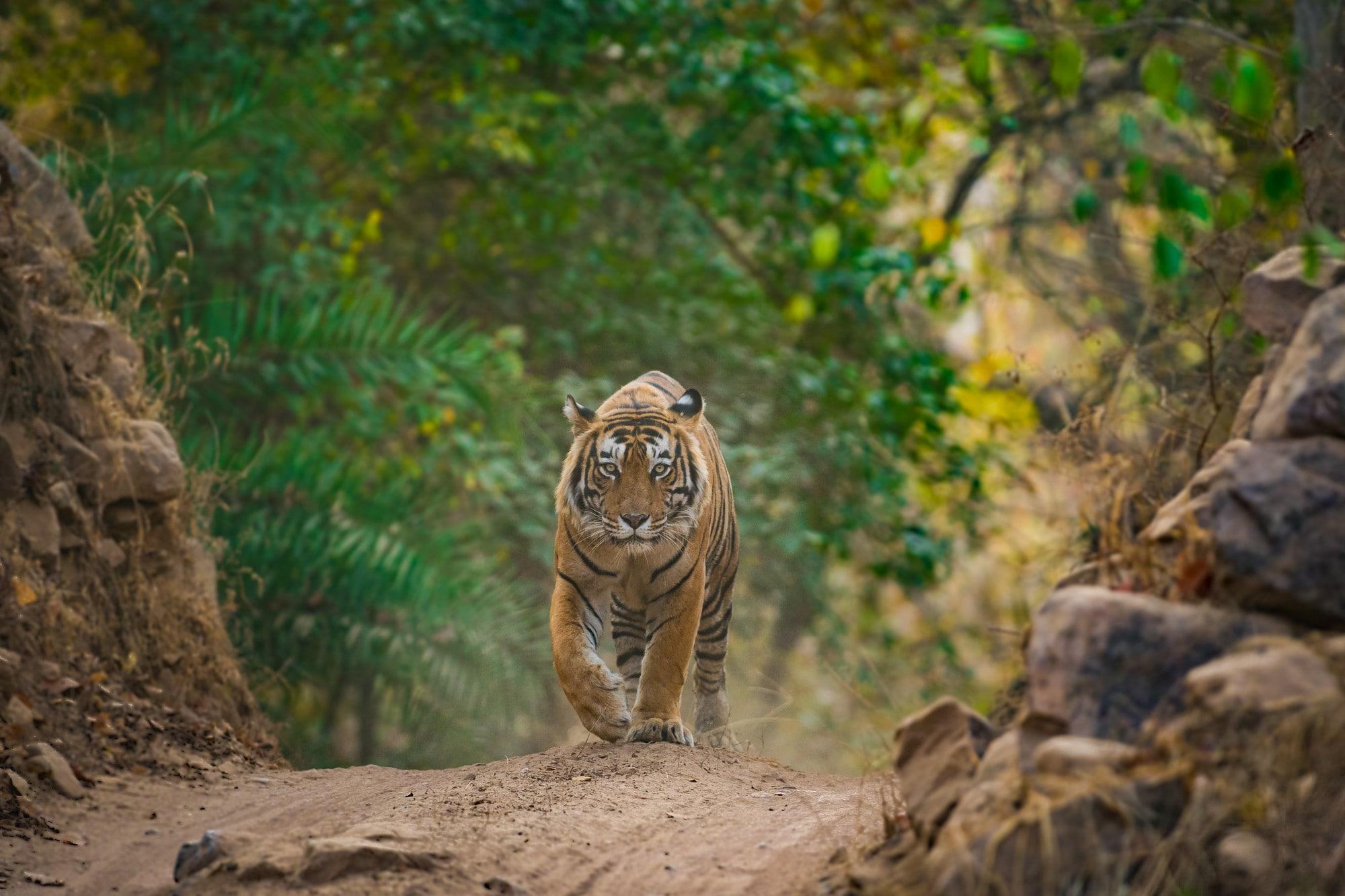 offerta India Voyager Tiger